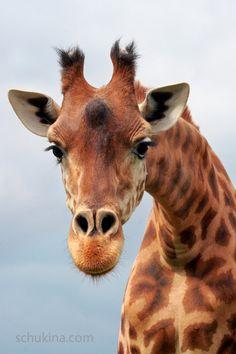 Portrait of giraffe by sschukina.deviantart.com on @DeviantArt