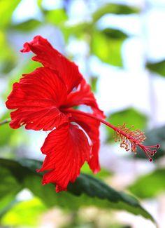 Cayena roja (Red Hibiscus)