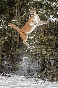 Puma (cougar, mountain lion) caught in mid leap. Looks like it bounded straight up from the snow—quite a feat. Big Cats, Cool Cats, Cats And Kittens, Nature Animals, Animals And Pets, Cute Animals, Beautiful Cats, Animals Beautiful, Chat Lion