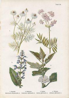 Vintage Botanical Illustration, 1920s, Chamomile, Valerian, Sage, Hibiscus