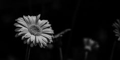 A simple capture at a local greenhouse today. just a break from the street work that I love so much. Blink Photography, Street Work, Stand Tall, Dandelion, Daisies, Margaritas, Dandelions, Margarita Flower, Taraxacum Officinale