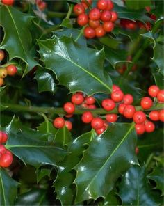 Spread Christmas joy all year round with the gorgeous foliage and bright berries of these evergreen plants