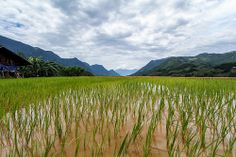 rice paddies in india | Paddy Fields Rice Crop Agriculture India Pictures