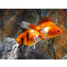 Shubunkin goldfish goldfish and live fish on pinterest for Petsmart live fish