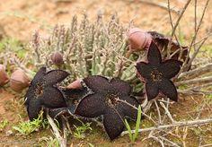 Tridentea geminiflora. Syn of Tromotriche