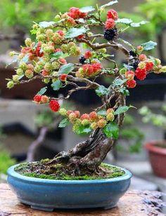 7 Best Mulberry Images Bonsai Trees Bonsai Fruit Tree