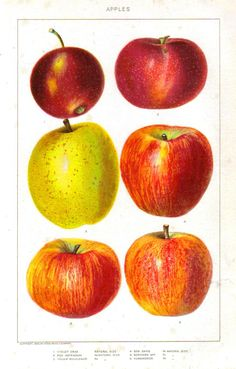 Botanical - Educational plate - Fruit - Apples (1902) -