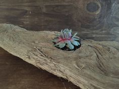 Driftwood Potted Succulent.  Potted Succulents.  Succulents by PerfectGiftsByMJ on Etsy
