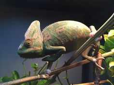 My pet chameleon posed for me with beautiful colors.