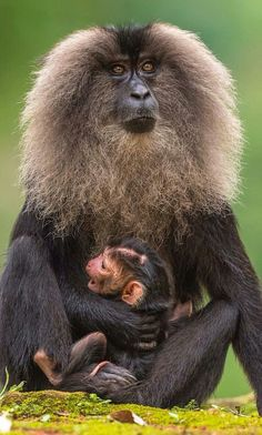 Lion-Tailed Macaque mother and baby.