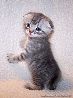 Scottish Fold Silver Tabby Short Hair - 4 weeks old. Munchkin Cat Scottish Fold, Scottish Fold Kittens, Munchkin Kitten, Kittens Cutest, Cats And Kittens, Cute Cats Photos, Photo Chat, Jolie Photo, Beautiful Cats