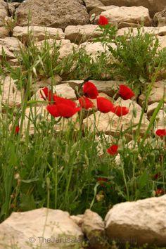 Wild poppy growing in Lifta, Jerusalem. Photo By Pascale Korson