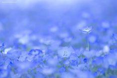 A Sea of Million Baby Blue Eye Flowers in Japan's Hitachi Seaside ParkHitachi Seaside Park is a sprawling 470 acre park located in Hitachinaka, Ibaraki, Japan, that features vast flower gardens. Blue Lotus Flower, Orange Flowers, Champs, Hitachi Seaside Park, Flora, Felder, Fukuoka, Delphinium, Daffodils