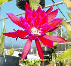 Epiphyllum hybrid 'Awesome'