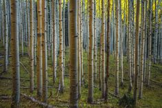 Glow Sticks - A combination of late afternoon light and golden aspen leaves reflecting down on the cream colored aspen trunks near Lockett Meadow. This may look similar to a previous shot I posted, but I liked this one for the emphasis on the tree trunks themselves.