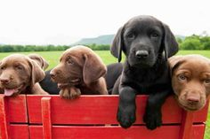Lab puppies hike a ride in a wagon.