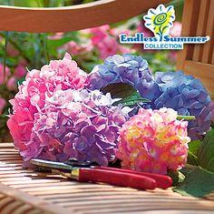 Hortensie Endless Summer® The Original