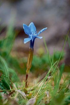 Britain's wild flowers: Spring Gentian