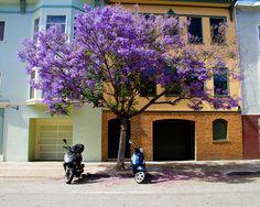 Jacaranda Street Tree