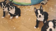 Boston Terrier Puppies - Week 6. Such a fun age. I had a litter of five as well  fun memories!