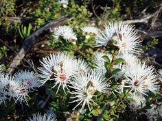 Muntries (Kunzea pomifera) are an evergreen, prostrate, perennial shurb native to Australia that produce small, edible, red and green berries said to have a spicy, apple-like flavor. The fruit of Muntries (Kunzea pomifera) are popular with bushfood enthusiasts.