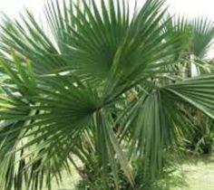 Dwarf Palmetto Palm Tree ( sabal minor )
