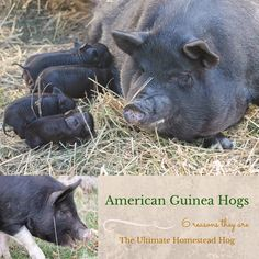 The Thrifty Homesteader: 6 reasons to add American Guinea Hogs to your homestead. This would be my choice. Raising Farm Animals, Animals And Pets, Cute Animals, Barnyard Animals, Pig Farming, Backyard Farming, Farming Ideas, Future Farms, Beef Cattle