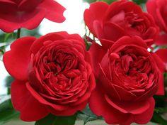 'Out of Rosenheim' * - Kordes (2010). Trosroos. Dubbele donkerrode bloemen (8cm). Langlevend en regenbestendig. Glanzend blad. Zo goed als ziektevrij. 80cm x 40cm.