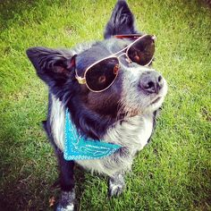 Beethoven The Border Collie on Instagram; dog, dogs, sunglasses, bandana