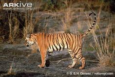 Bengal tiger spraying urine to mark territory