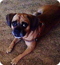 die besten 25 pug beagle mix ideen auf pinterest puggle welpen beagle mix welpen und mops. Black Bedroom Furniture Sets. Home Design Ideas