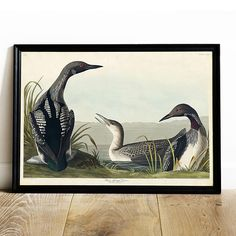 Diver Print, Antique Bird Painting, Vintage Drawing Poster Wall Art, Black-Throated Diver, antique b Bird Poster, Poster Wall, Birds Of America, John James Audubon, Vintage Drawing, Heritage Image, Beautiful Birds, Vintage Prints, Artwork Prints