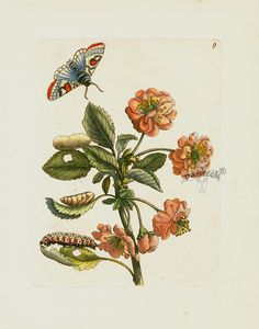 Maria Sibilla Merian Der Rupsen Begin Prints 1713 - Cerasa acida rubre