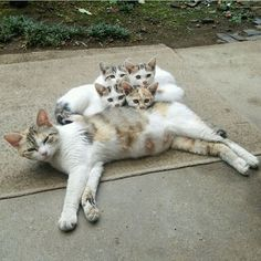 Mommy and her kittens http://www.mainecoonguide.com/kittens/