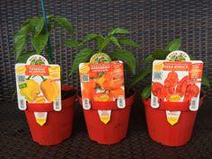 #Chilli 2nd Backup: #Habanero Orange, #Nagamorich, #Trinidad Scorpion Yellow Trinidad, Chilli Plant, Scorpion, Orange, Yellow, Stuffed Peppers, Vegetables, Hot, Plants