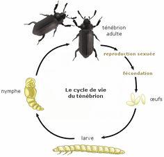 Cours de - Les caractéristiques de la reproduction sexuée - Maxicours.com