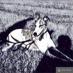 Arty dee-oh-gee #Cane #DogsOfInstagram #greyhound