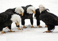 American Bald eagles (football huddle)