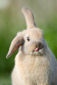 I cant think of even one time in my life I have ever seen a bunny stick their tounge out like this.....what a great moment in time to capture.
