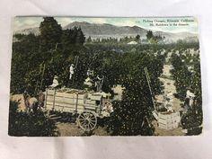 Vintage Picking Oranges Riverside, CA w/ Mt. Rubiboux postcard postmarked 1910