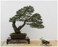 El bonsái y yo: Pinus Sylvestris