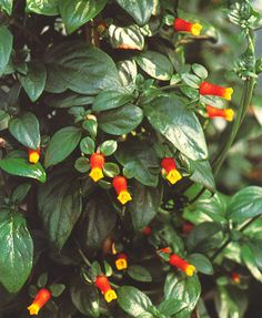 Candy Corn Vine / Firecracker Vine.  Just bought one of these today, can't wait to see how it grows.
