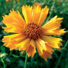 Jethro Tull is a very distinctive looking Coreopsis with large golden-yellow daisies with fluted petals. A long bloomer when deadheaded, this is a compact growing variety. Drought resistant/drought tolerant plant (xeric).