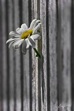Flower thru the fence