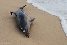 Historic whale and dolphin stranding data made public for the first time Common Bottlenose Dolphin, Common Dolphin, Pilot Whale, Baleen Whales, British Wildlife, Blue Whale, Large Animals