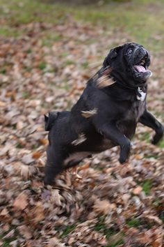 Hmmmm.  Wild black pug...just like my Emmett haha.