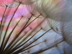 Colour my world by Peggy Reimchen / peggyhr (flickr). Goat's Beard Seedhead variation #1 #photography #nature