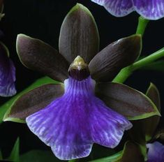 Zygopetalum 'Blue Bird'