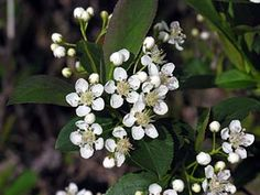 Black Chokeberry shrub.  Spring blossoms.
