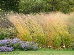 'Skyracer' purple moor grass (Molinia caerulea) / repinned by Llewellyn Landscape & Garden Design www.llgd.co.uk | creative design for the landscape of your dreams
